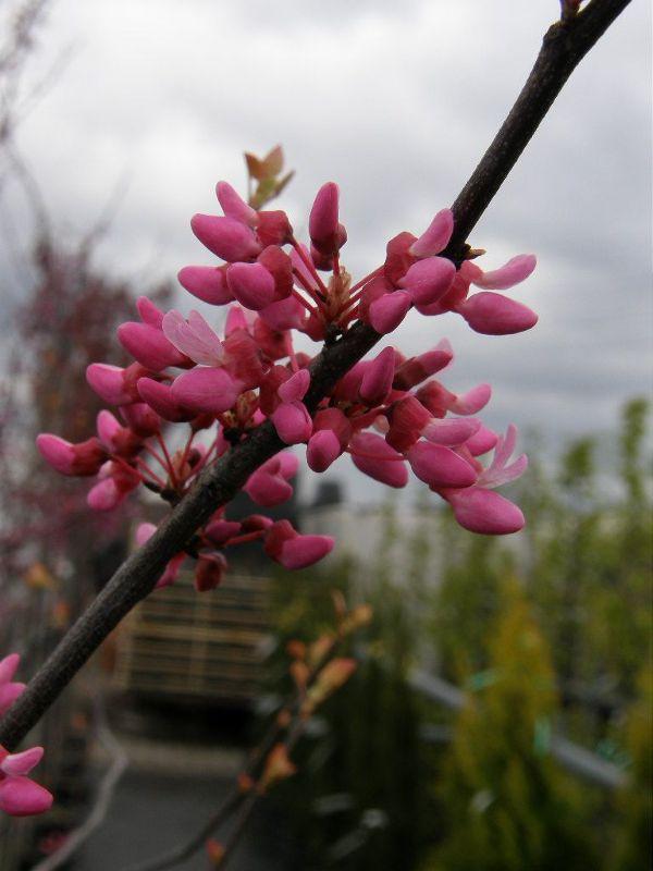 Cercis canadensis 'Tennessee Pink', Kanadischer Judasbaum