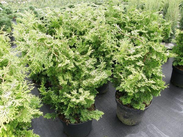 Chamaecyparis obtusa 'Aurea', Hinoki Scheinzypresse