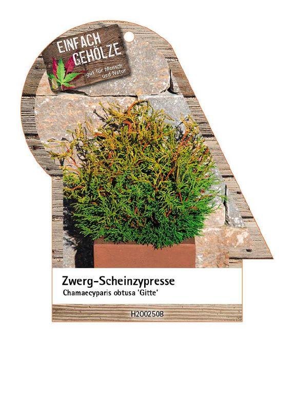 Chamaecyparis obtusa 'Gitte', Hinoki-Scheinzypresse