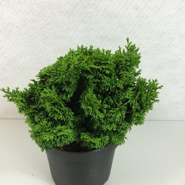 Chamaecyparis obtusa 'Kosteri', Fächerblatt-Scheinzypresse