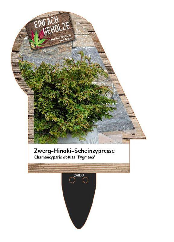 Chamaecyparis obtusa 'Pygmaea', Zwerg-Hinoki-Scheinzypresse