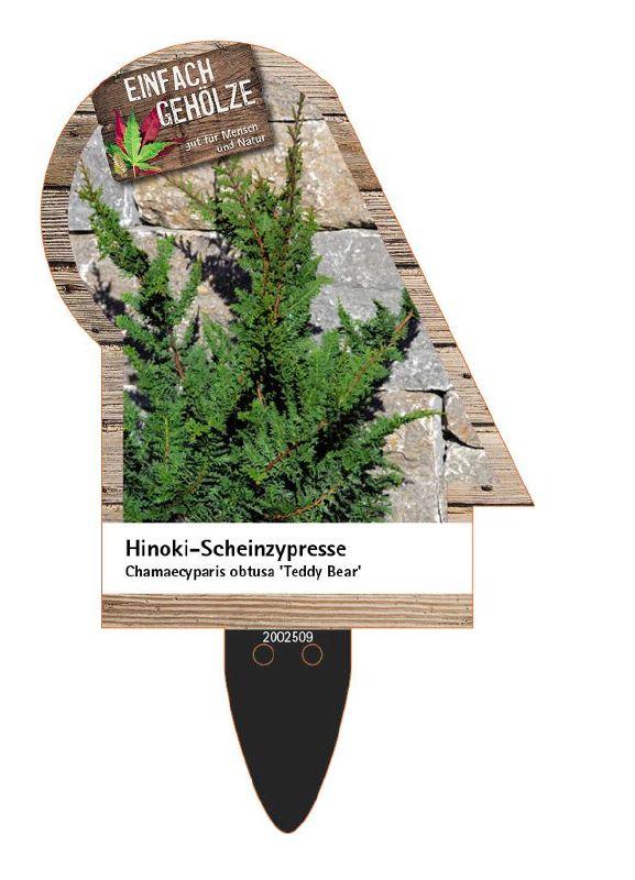 Chamaecyparis obtusa 'Teddy Bear', Hinoki-Scheinzypresse