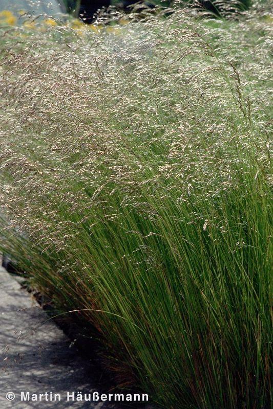 Deschampsia flexuosa, Draht-Schmiele