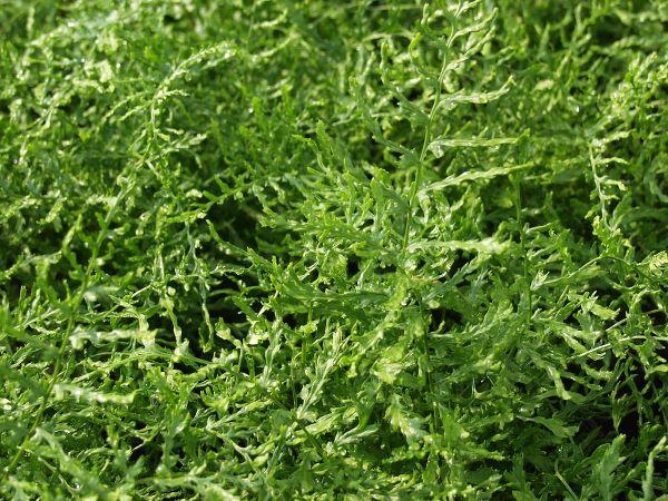 Dryopteris filix-mas 'Linear.Polydactylon', Schellenbaumfarn