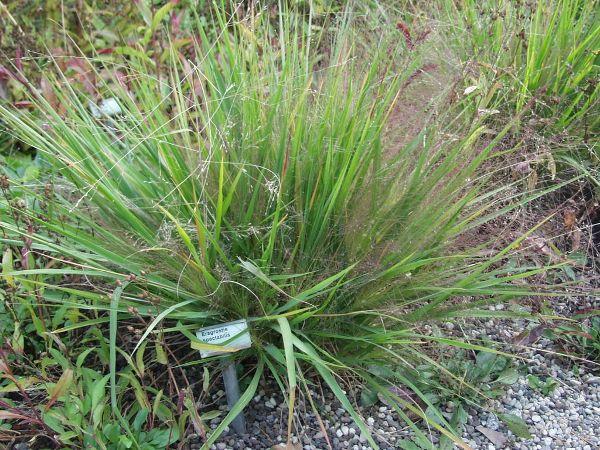 Eragrostis spectabilis, Purpur-Liebesgras