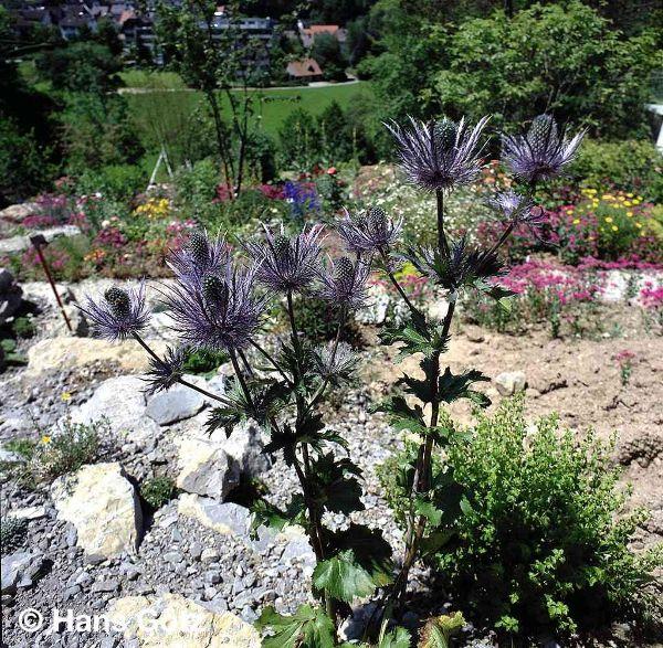 Eryngium alpinum 'Blue Star', Alpen-Mannstreu
