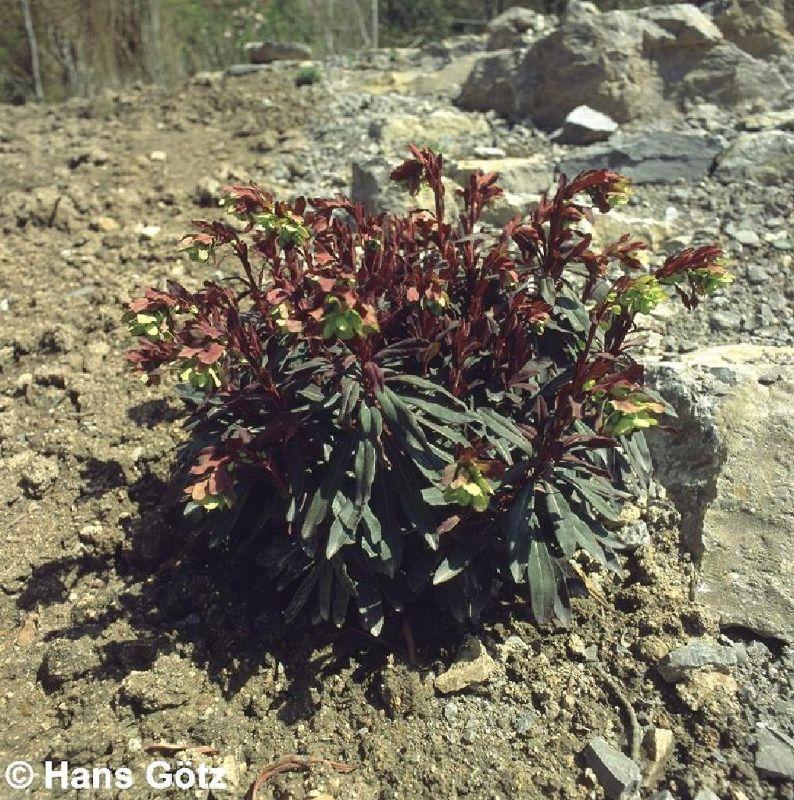 Euphorbia amygdaloides 'Purpurea', Mandelblättrige Wolfsmilch