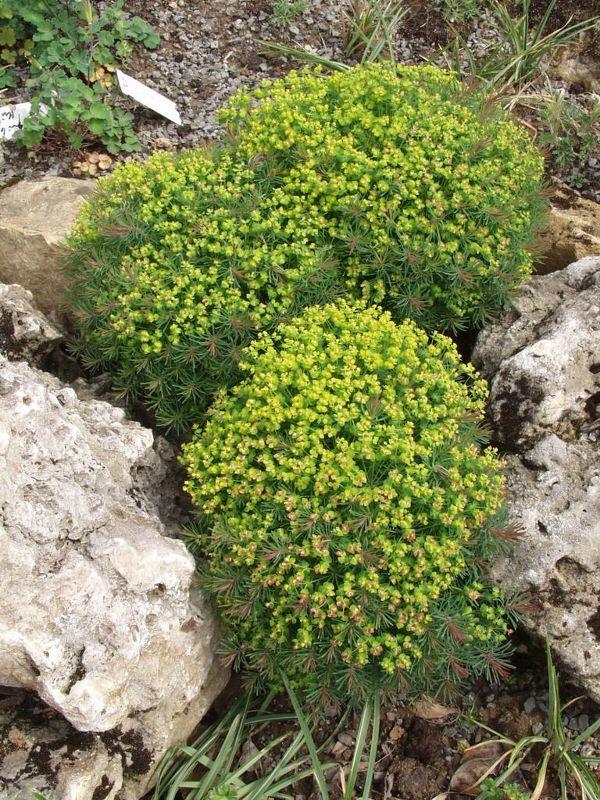 Euphorbia cyparissias 'Clarice Howard', Purpur-Zypressen-Wolfsmilch