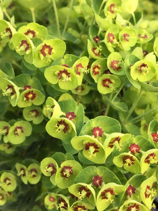 Euphorbia x martinii 'Baby Charm'  -R-, Mittelmeer-Wolfsmilch