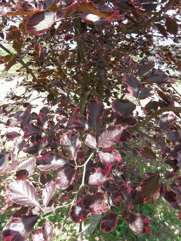 Fagus sylvatica 'Tricolor', Rosa-rotblättrige Buche