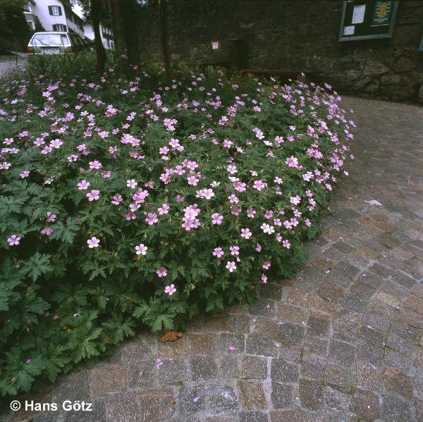 Geranium endressii, Pyrenäen-Storchschnabel