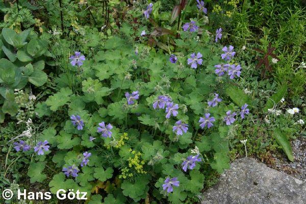 Geranium renardii 'Philippe Vapelle', Kaukasus-Storchschnabel