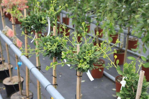 Ginkgo biloba 'Chris Dwarf', Zwergiger Fächerblattbaum