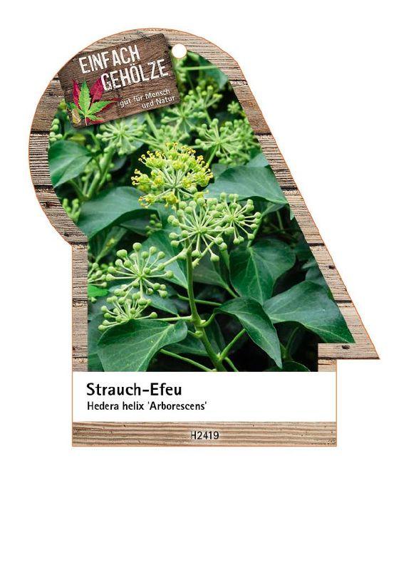Hedera helix 'Arborescens', Strauch-Efeu