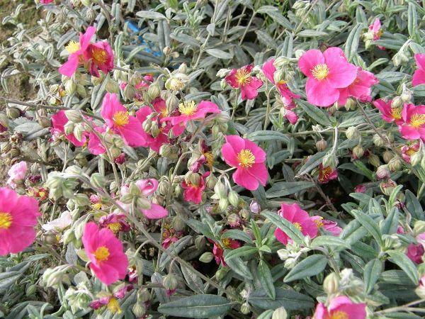 Helianthemum x cult.'Raspberry Ripples', Sonnenröschen