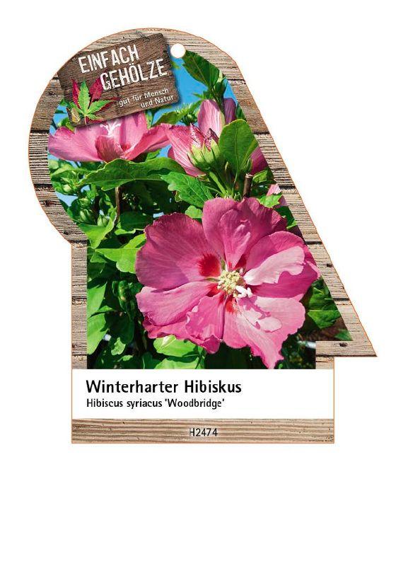 Hibiscus syriacus 'Woodbridge', Strauch-Eibisch