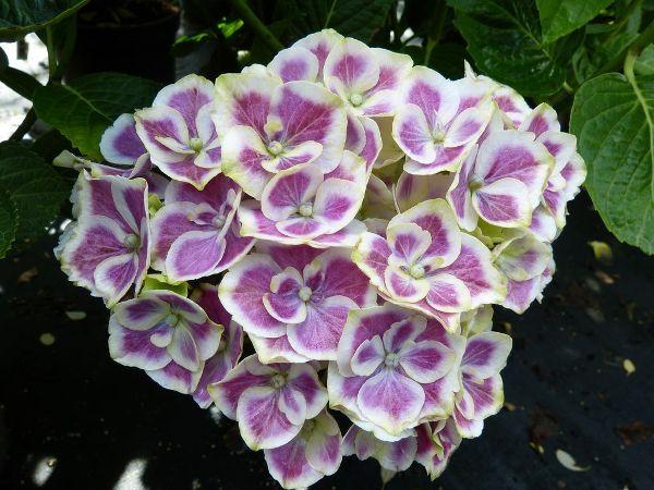 Hydrangea macrophylla 'Bavaria'  -R-, Ball-Hortensie