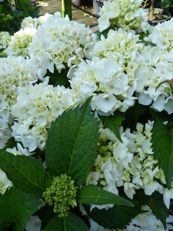 Hydrangea macrophylla 'Soeur Therese', Ball-Hortensie