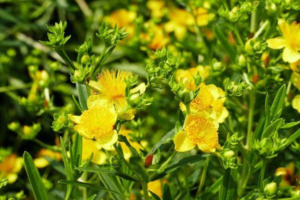 Hypericum kalmianum 'Gemo', Johanniskraut