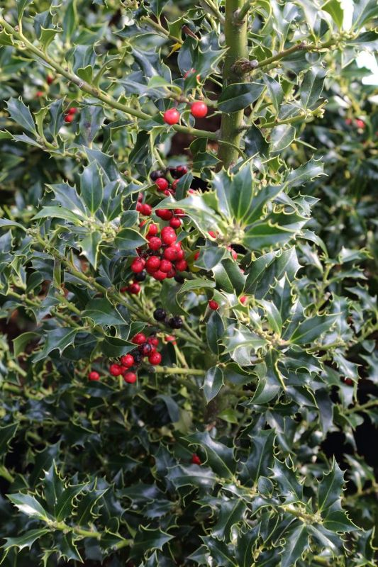 Ilex aquifolium 'Alaska', Stechpalme