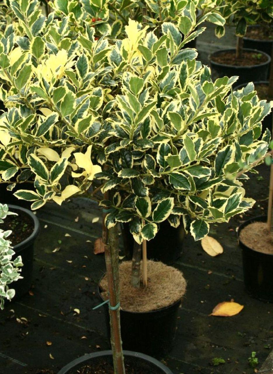 Ilex Aquifolium Golden Van Tol Gelbbunte Stechpalme Häußermann