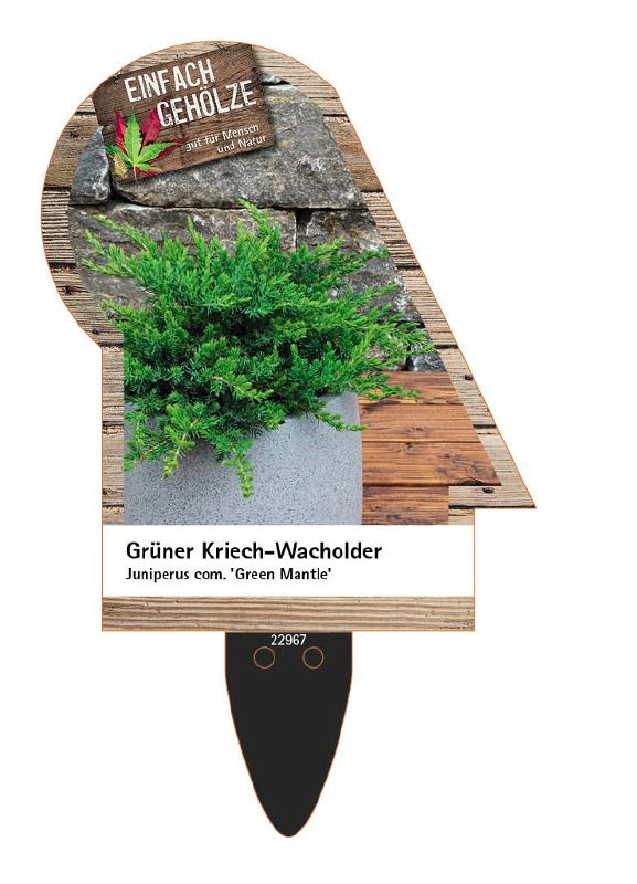 Juniperus com.'Green Mantle', Grüner Kriech-Wacholder