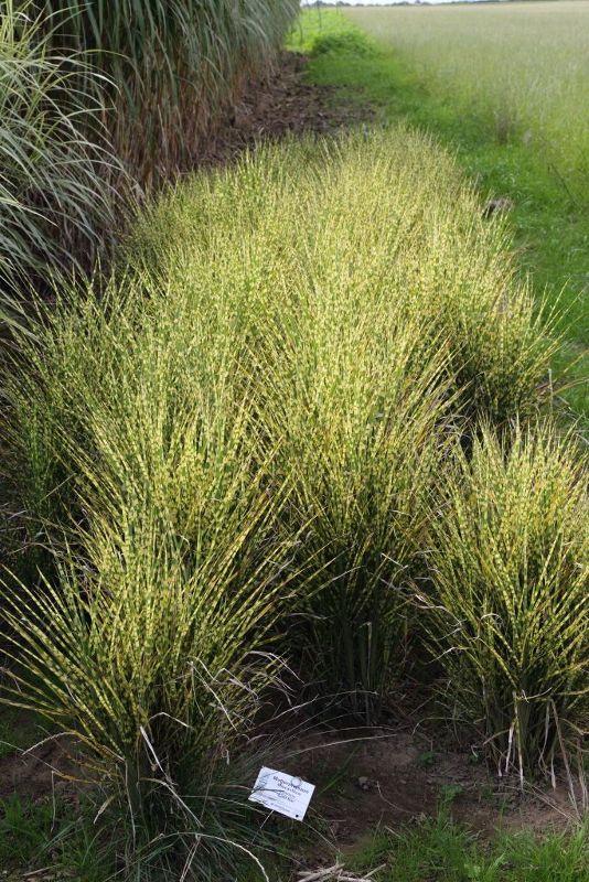 Miscanthus sinensis 'Gold Bar'  -R-, Zwerg-Zebraschilf