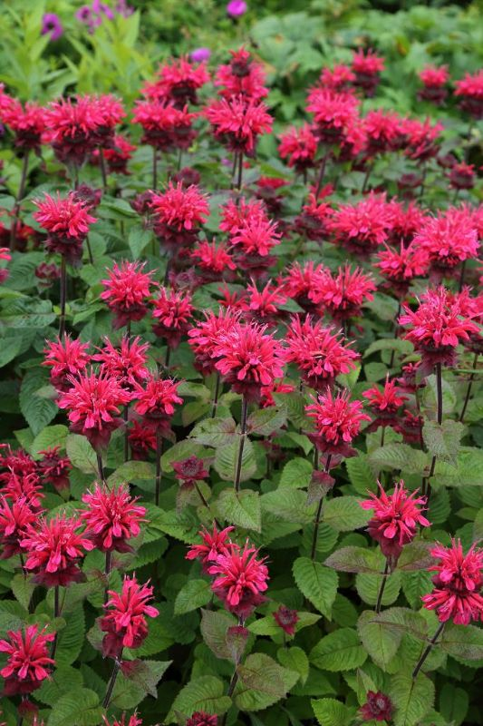 Monarda fistulosa 'Bee-Happy'  -R-, Indianernessel