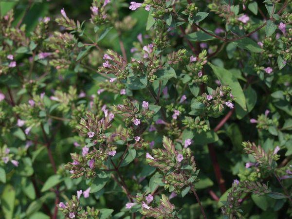 Origanum laevigatum 'Aromaticum', Blüten-Dost