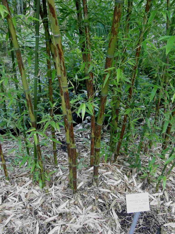 Phyllostachys nigra 'Boryana', Schwarzrohr-Bambus