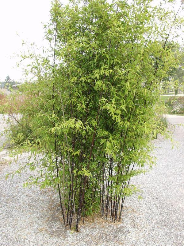 Phyllostachys nigra punctata, Schwarzrohr-Bambus