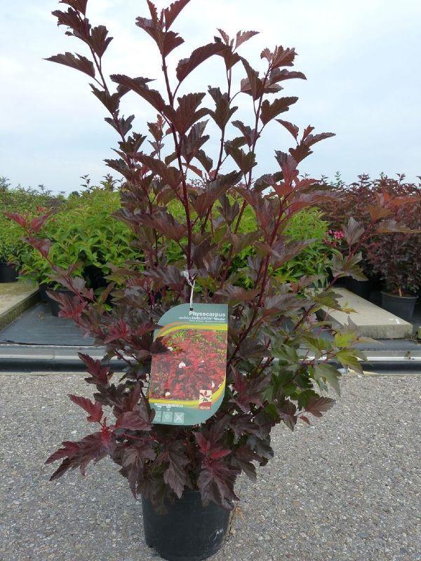 Physocarpus opulifolius 'Diable d'Or'  -R-, Rotlaubige Blasenspiere