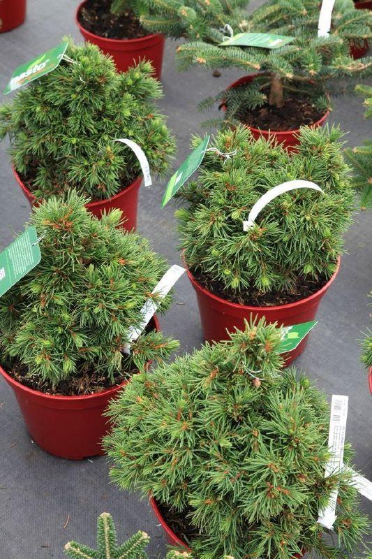 Picea abies 'Mikulasovice', Zwerg-Kegel-Fichte