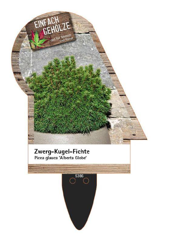Picea glauca 'Alberta Globe', Zwerg-Kugel-Fichte