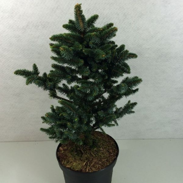 Picea glauca 'Cecilia', Blaue Zwerg-Fichte