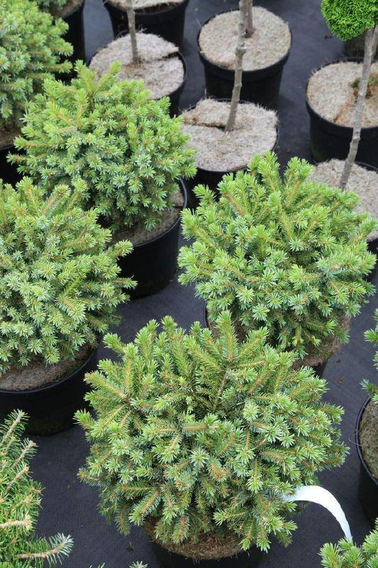 Picea omorika 'Huibert', Serbische Kugel-Fichte