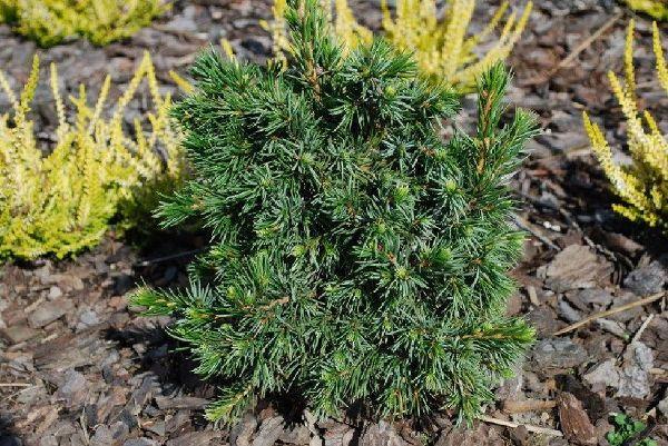 Picea omorika 'Wodan', Serbische Zwerg-Fichte