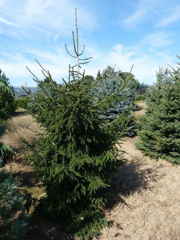 Picea orientalis 'Aurea', Orientalische Gold-Fichte