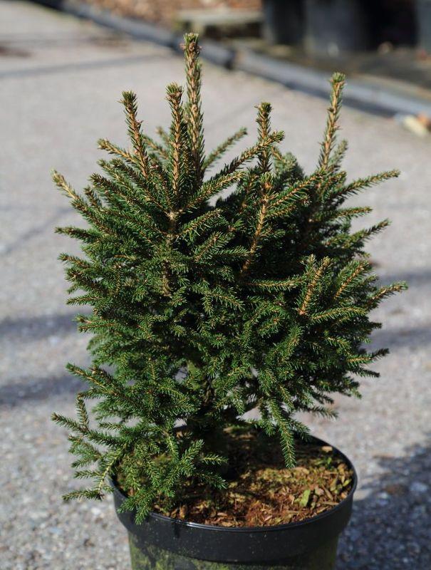Picea orientalis 'Kenwith', Orientalische Zwergfichte