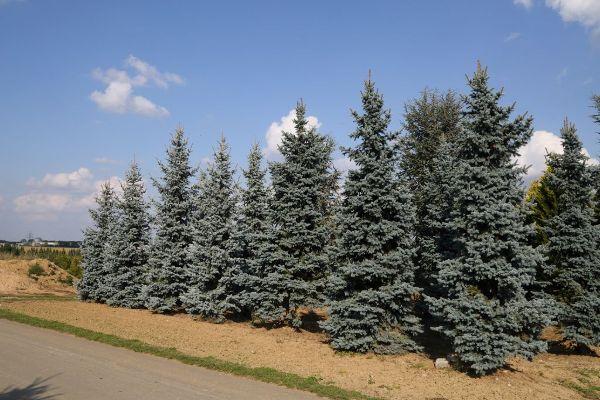 Picea pungens 'Koster', Edle Blau-Fichte