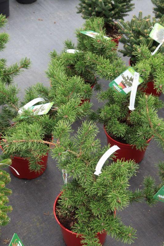 Pinus banksiana 'Velda', Zwerg-Strauchkiefer