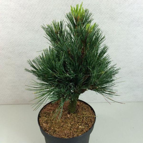 Pinus cembra 'Sartori', Zwerg-Zirbel-Kiefer