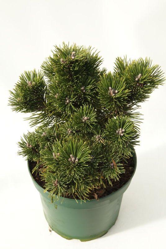 Pinus longaeva 'Sherwood Compact', Langlebige Kiefer