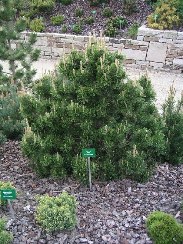 Pinus mugo 'Gnom', Gnomen-Kiefer