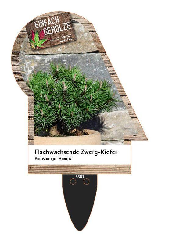Pinus mugo 'Humpy', Flachwachsende Zwerg-Kiefer