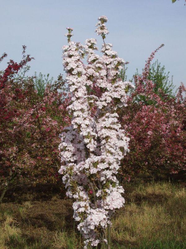 Prunus serrulata 'Amanogawa'           CAC, Säulen-Zier-Kirsche