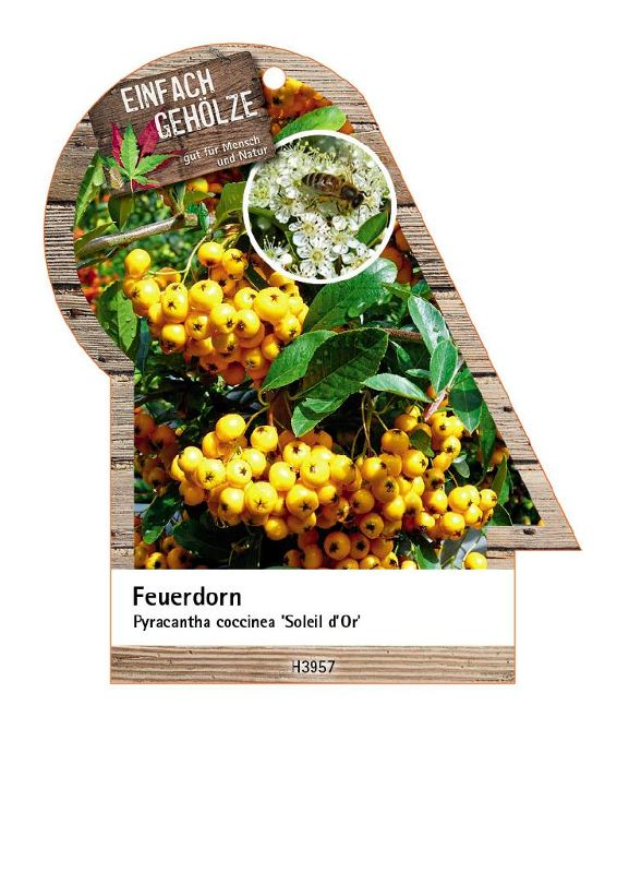 Pyracantha coccinea 'Soleil d'Or', Feuerdorn