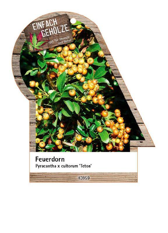 Pyracantha x cult.'Teton', Feuerdorn