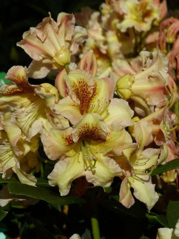 Rhododendron x cult.'Bernstein' II, Großblumiger Rhododendron