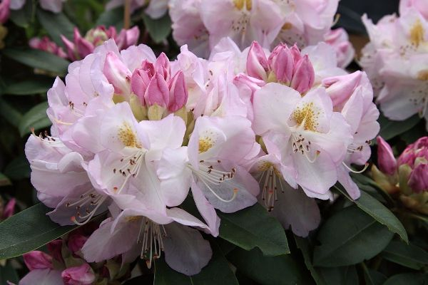 Rhododendron x cult.'Gomer Waterer' II, Großblumiger Rhododendron